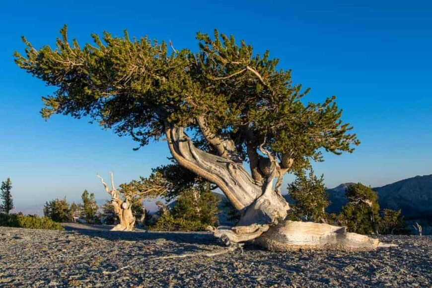 This is a mature bristlecone pine tree with a gnarled trunk.