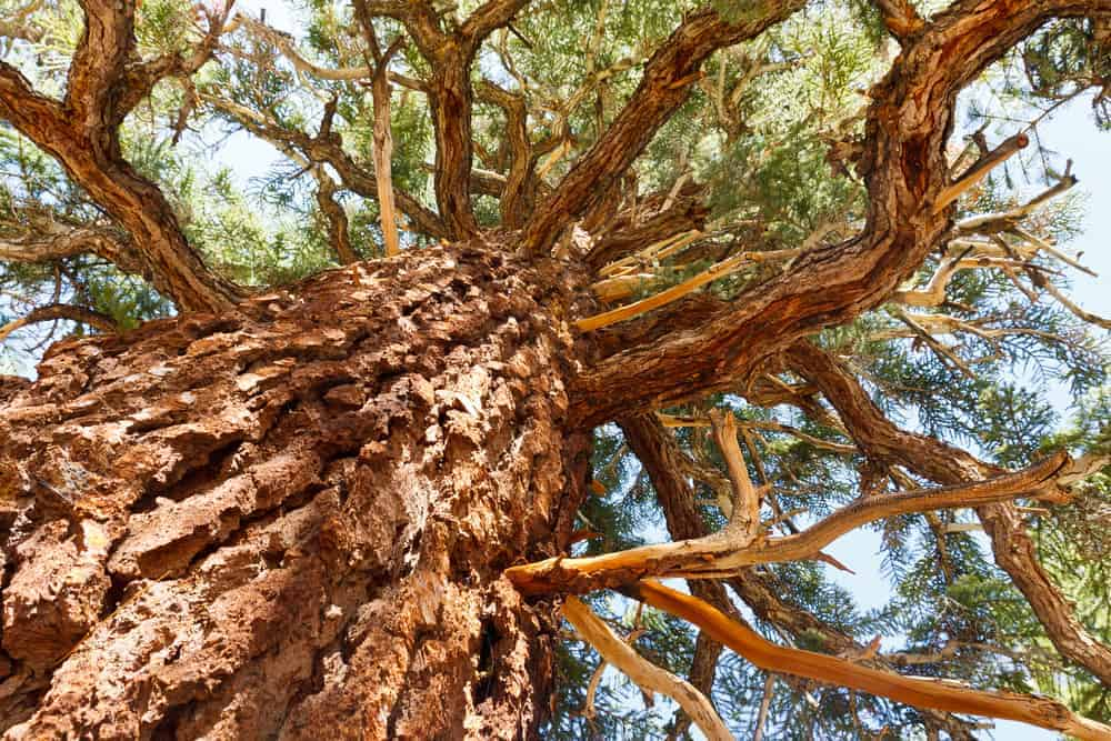 This is a close look at the bristlecone pine tree foliage.