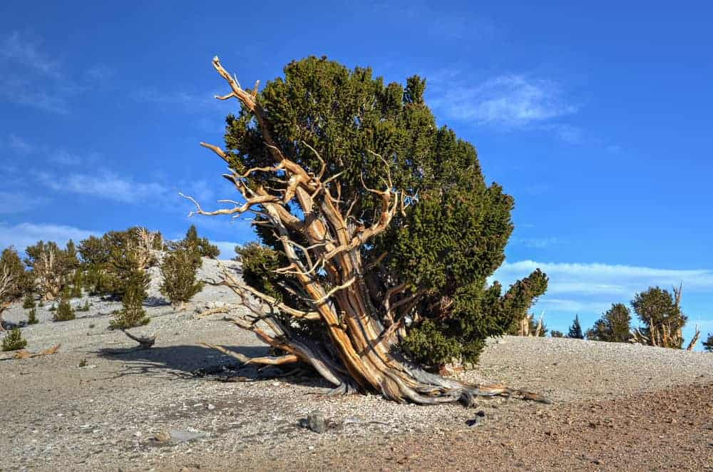 This is a look at a single bristlecone pine tree growing on a dry soil.