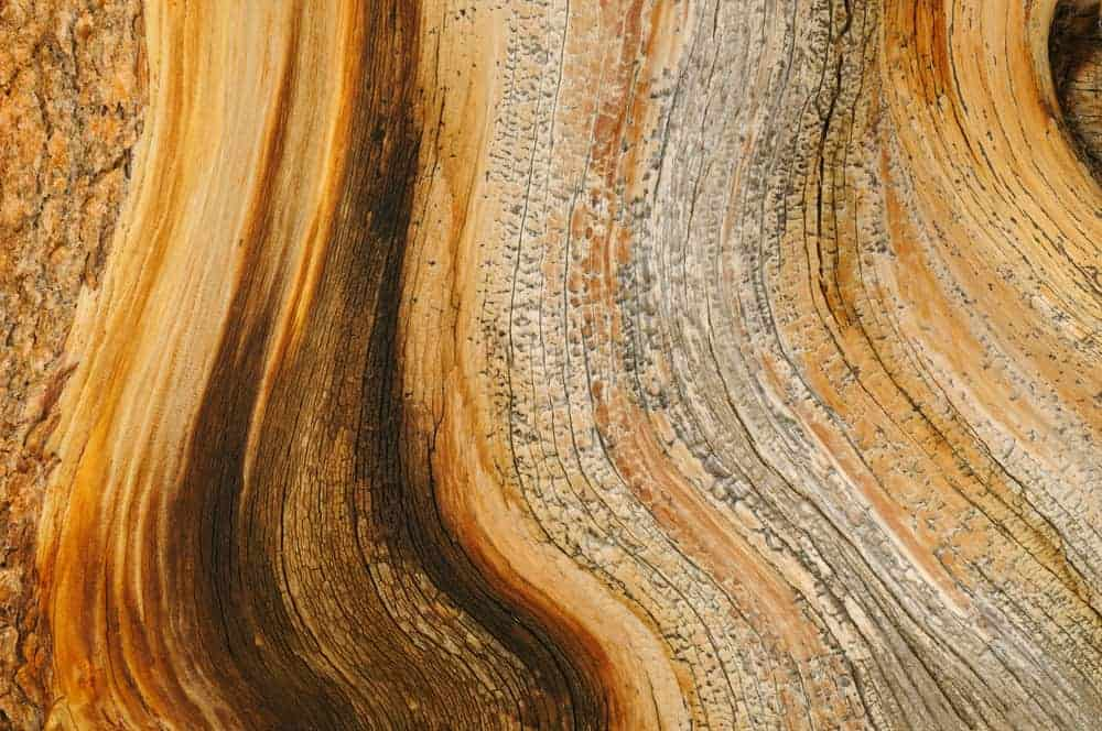 This is a close look at the inner bark of a bristlecone pine tree.