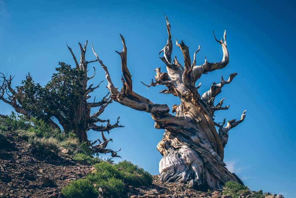 This is a look at Methuselah, the oldest living tree in the world.