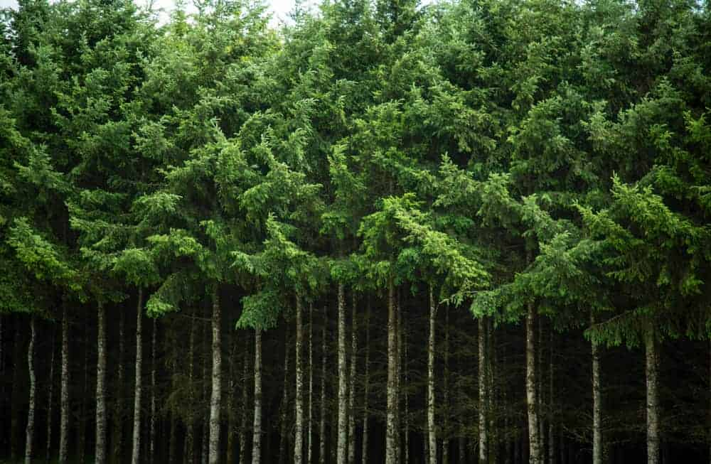 A look at a forest of Douglas Fir trees.