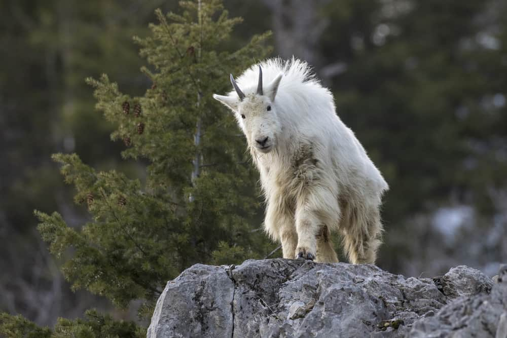 This is a close look at a white mountain goat on a tall rock.
