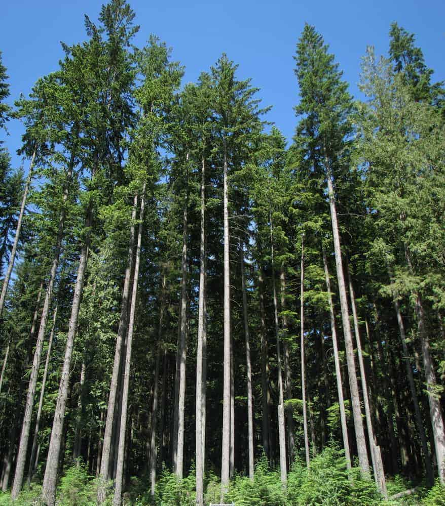This is a close look at a collection of Douglas fir trees showcasing the growth patterns.