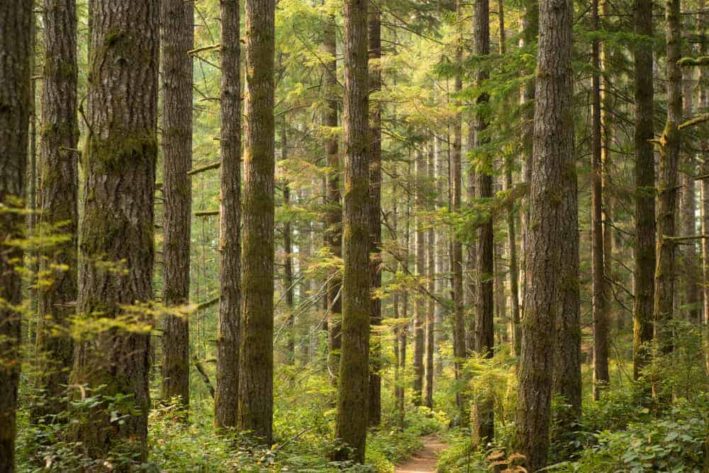 This is a close look at a walkway in the middle of a forest of douglas fir trees.
