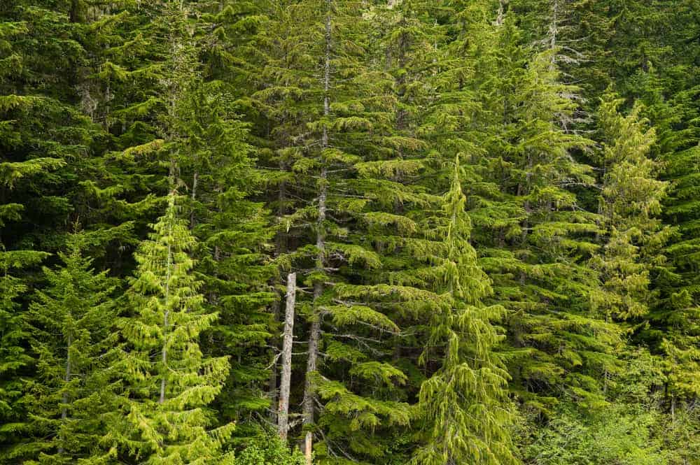 This is a close look at the foliage of douglas fir trees.