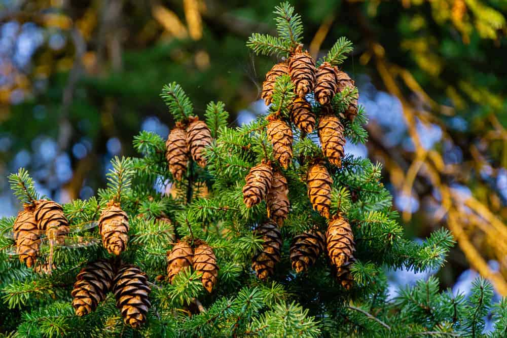 This is a close look at the clusters of douglas fir cones.
