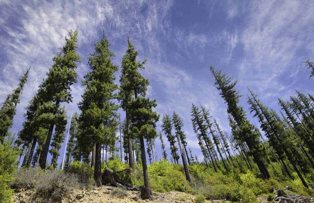This is a close look at a collection of tall douglas fir trees with shrubs.