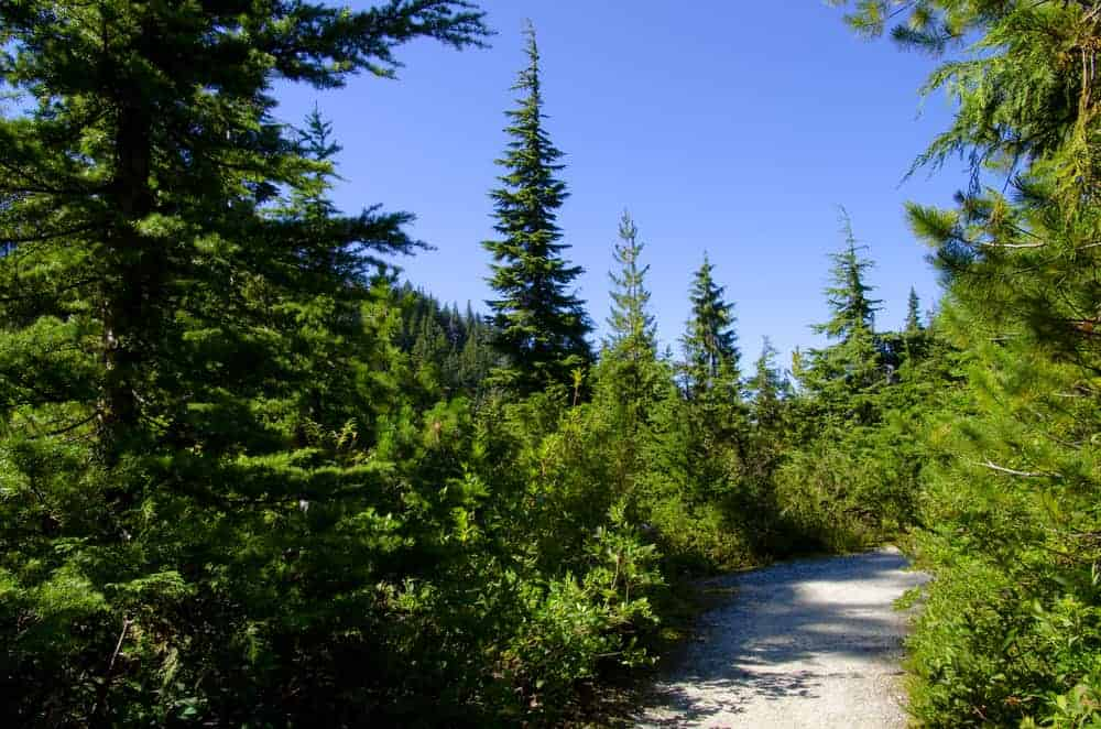 This is a path through a forest of douglas fir trees.