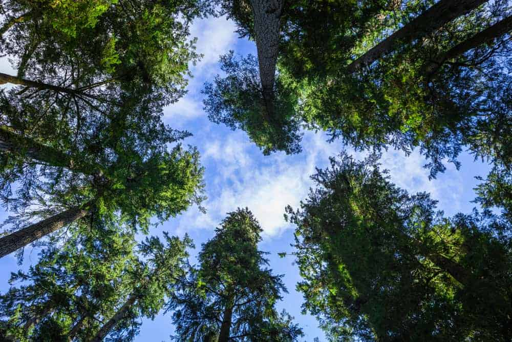 This is a look up the treetop canopy of douglas fir trees.