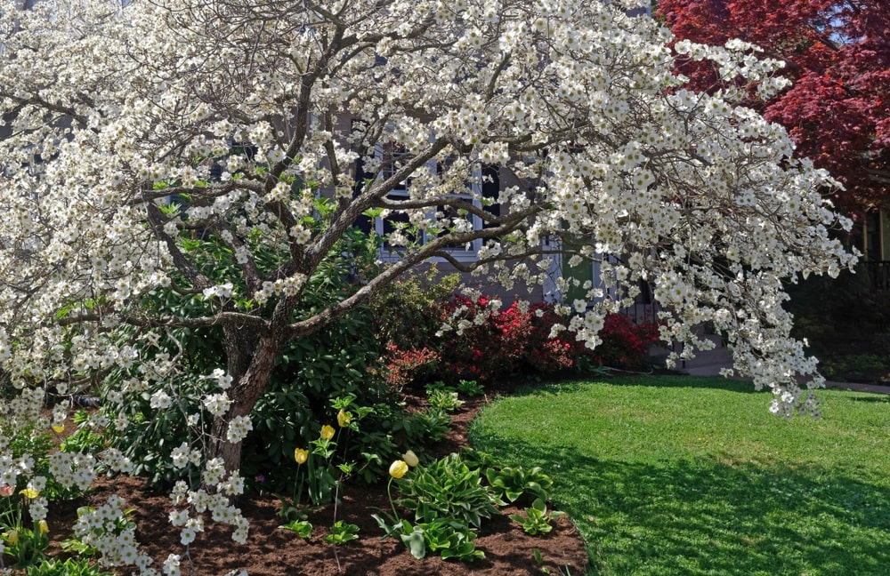 This is a close look at a garden that has a blooming flowering dogwood tree with tulips.