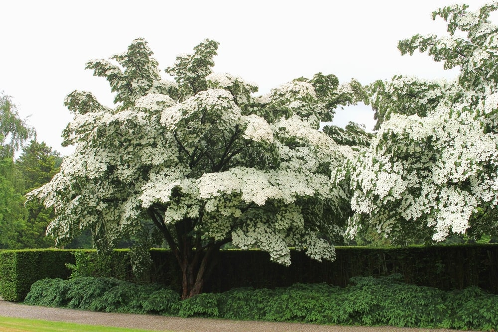 This is a close look at a house garden with flowering dogwood trees.