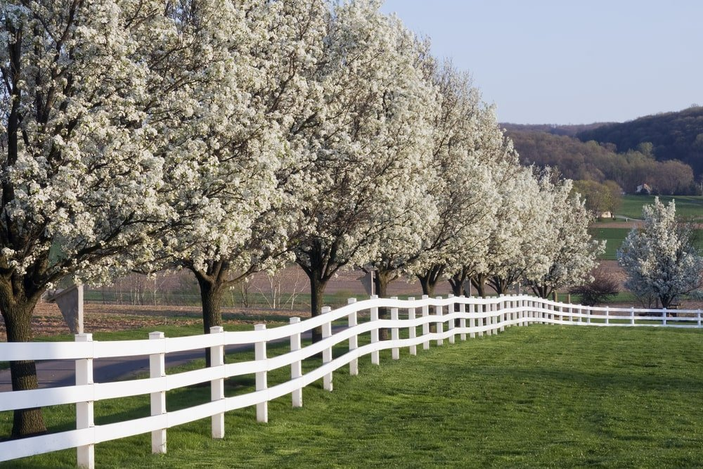 A row of flowering dogwood trees by the white fence.