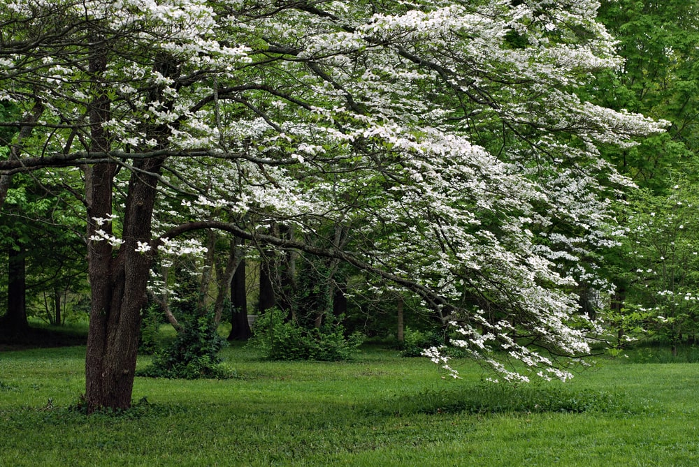 This is a close look at a mature flowering dogwood tree.