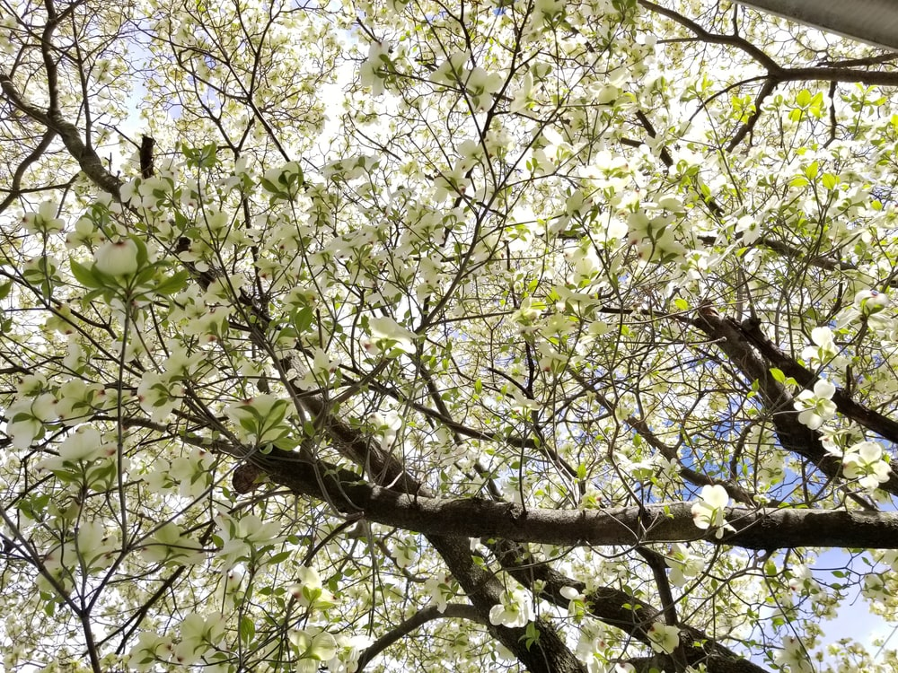 This is a close look at the branches and foliage of the flowering dogwood tree.
