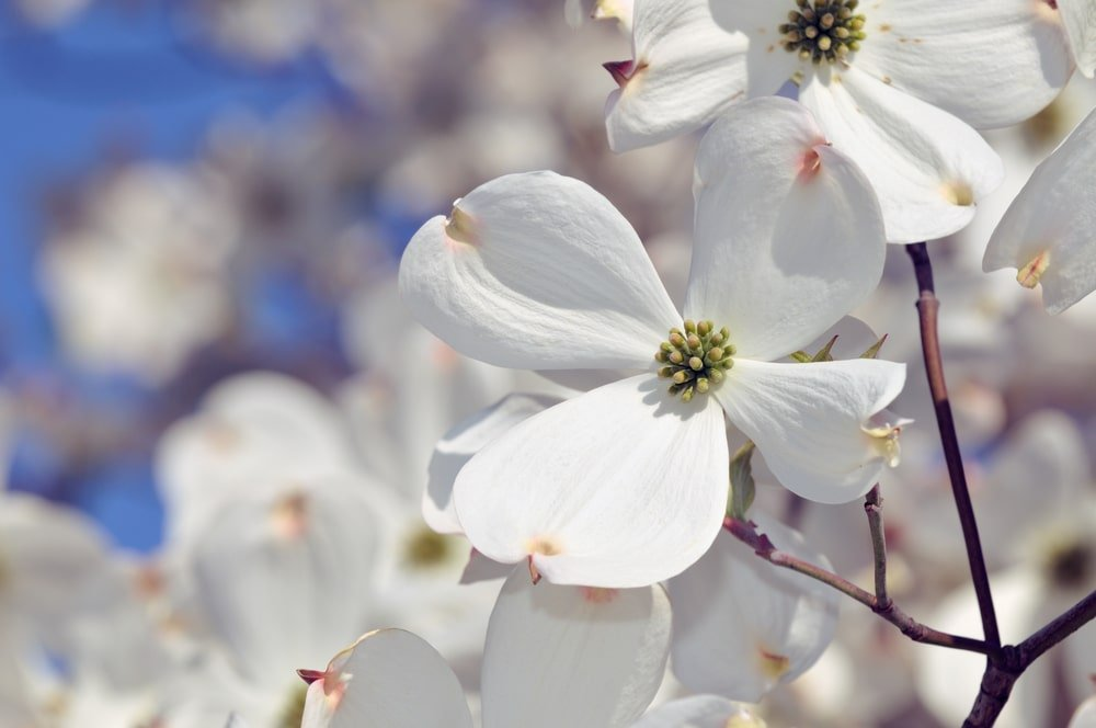 This is a close look at the bright white flower of a flowering dogwood tree.