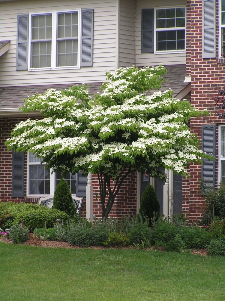 This is a look at a kousa dogwood tree with white flowers by the red brick house.