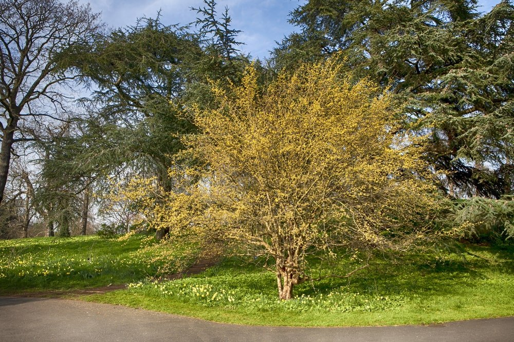 A cornelian cherry dogwood growing by the driveway.