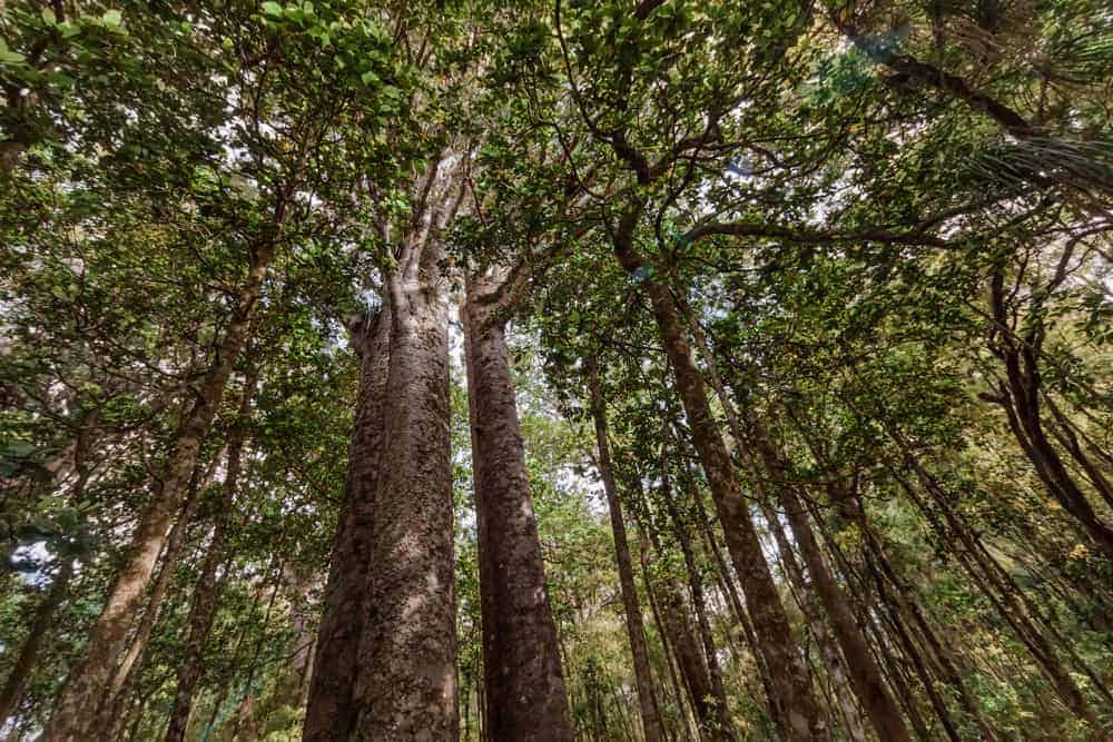This is a close look at the tall canopy of kauri trees.
