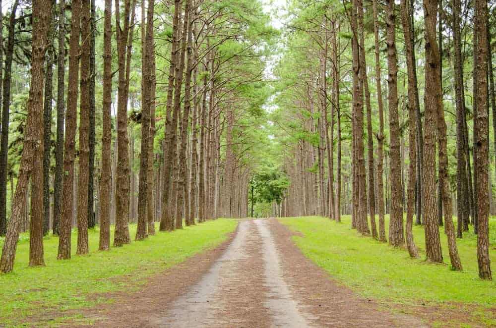 This is a close look at the walkway that is lined with tall pitch pine trees on both sides.