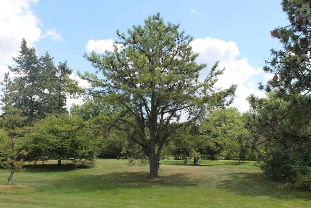 This is a full view of a mature tall pitch pine tree in a field.