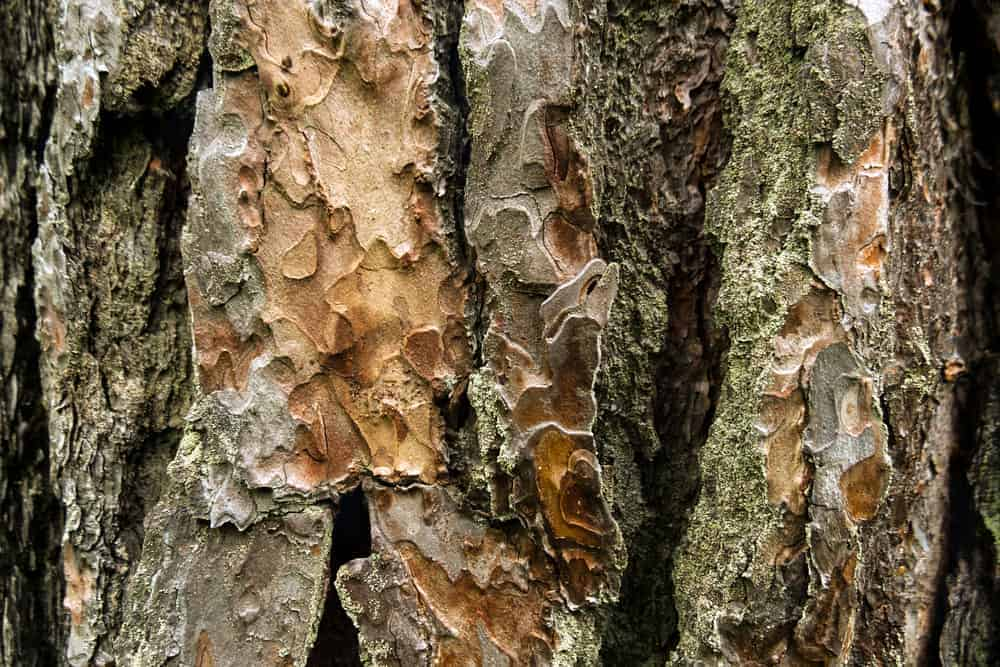This is a close look at the bark of a pitch pine tree.