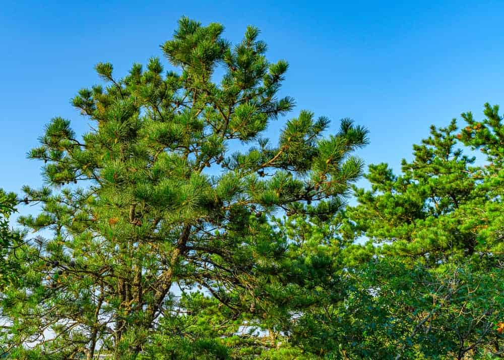 This is a close look at the foliage, leaves and branches of a pitch pine tree.