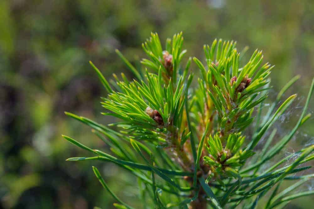 This is a close look at the branches of a pitch pine tree and its seed cones.