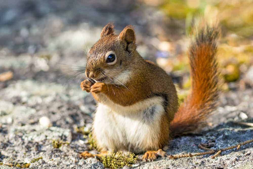 This is a close look at a brown squirrel eating a pine cone.