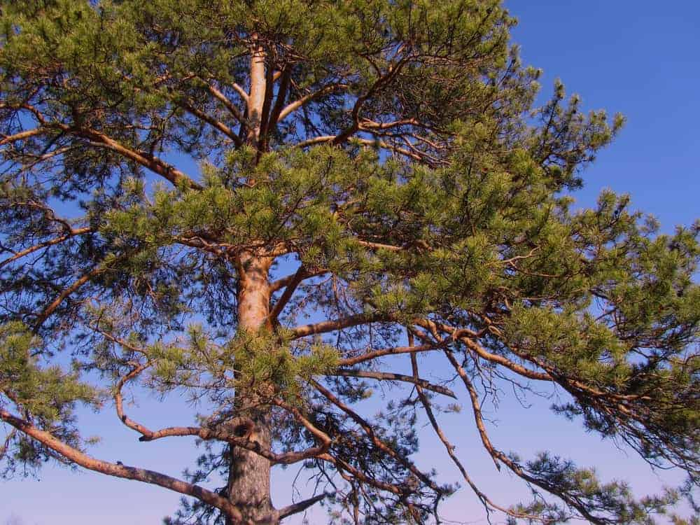 This is a full view of the red pine tree's branches, trunk and leaves.