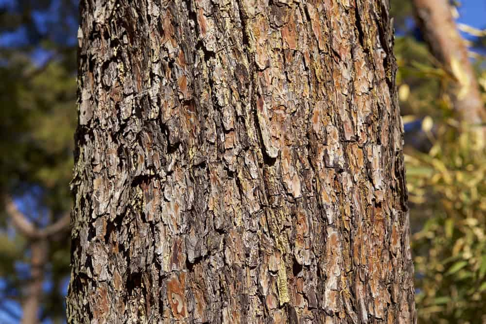 This is a close look at the bark of a red pine tree.