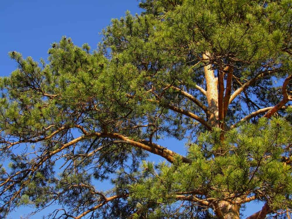 This is a close look at the foliage, branches and leaves of a red pine tree.