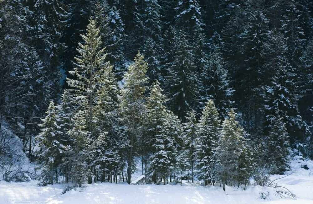 This is a close look at the forest of red spruce trees during winter.