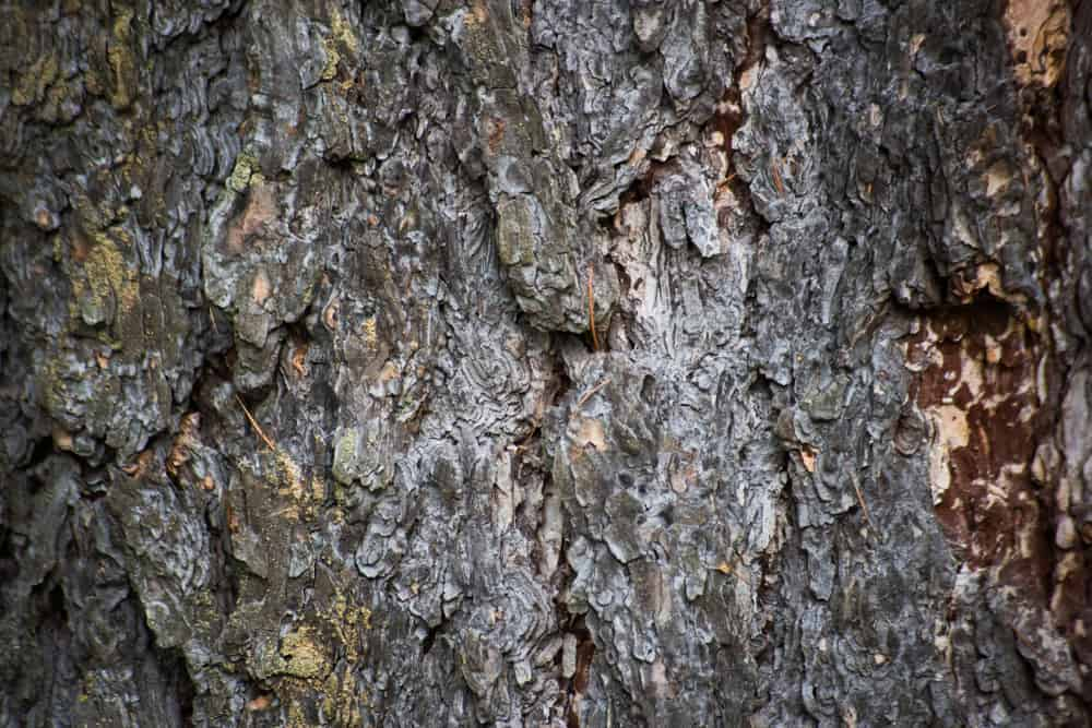 This is a close look at a bark of a red spruce tree.