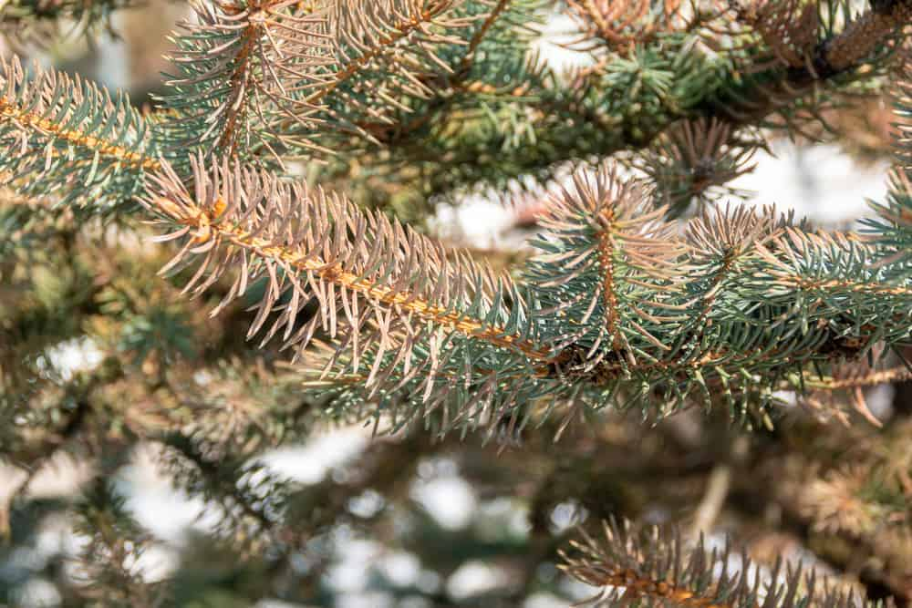 This is a close look at the foliage and leaves of a red spruce tree.