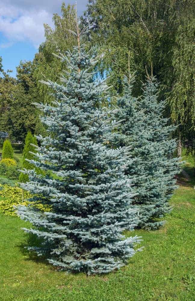 A row of tall blue spruce trees at a garden.