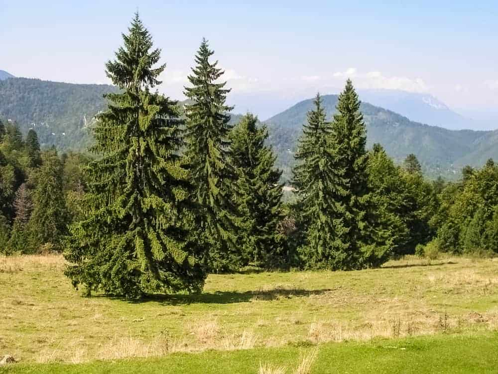 A collection of tall mature Norway Spruce trees at a field.