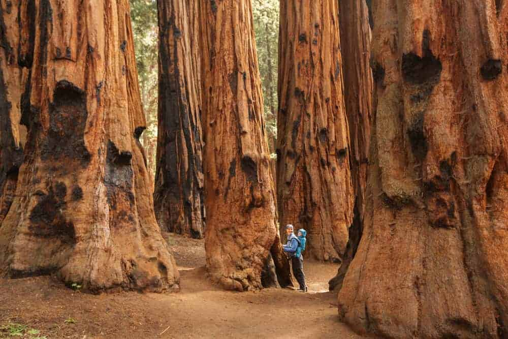 A mother and child standing amongst giant redwood trees.
