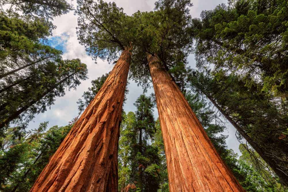This is a close look at a couple of tall mature redwood trees.
