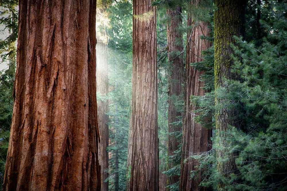 This is a close look at the barks of the redwood trees in a forest.