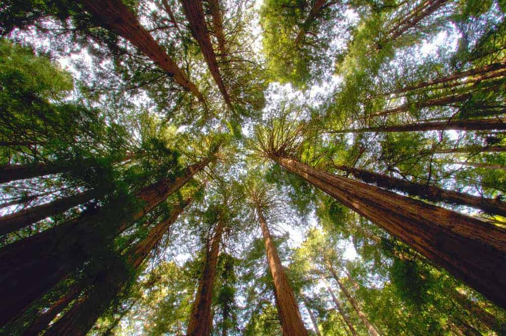 This is a look up at the tall canopy of the redwood trees.