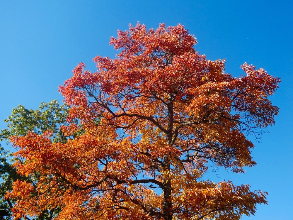 This is a close look at the leaves and branches of a mature Sassafras tree.