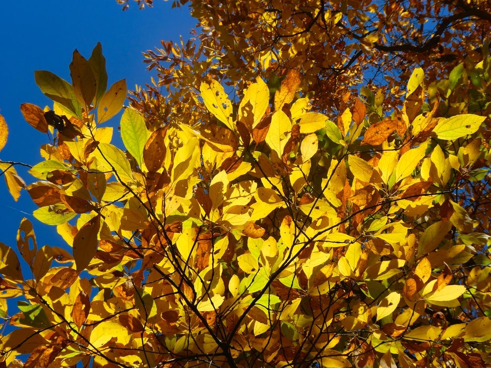 This is a close look at the bright leaves of a Sassafras tree.