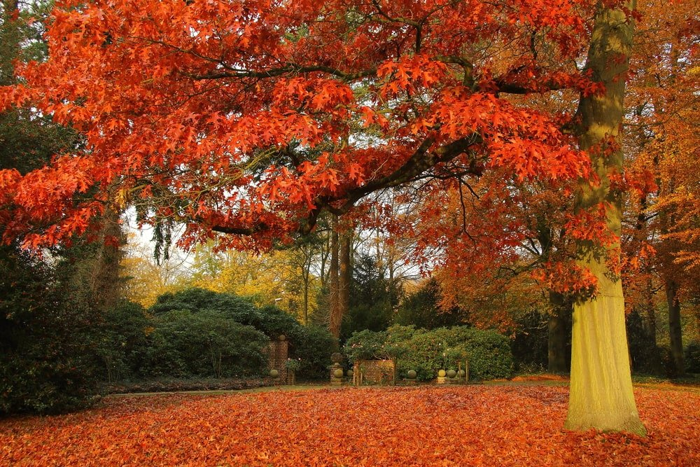 A close look at a scarlet oak tree during fall.