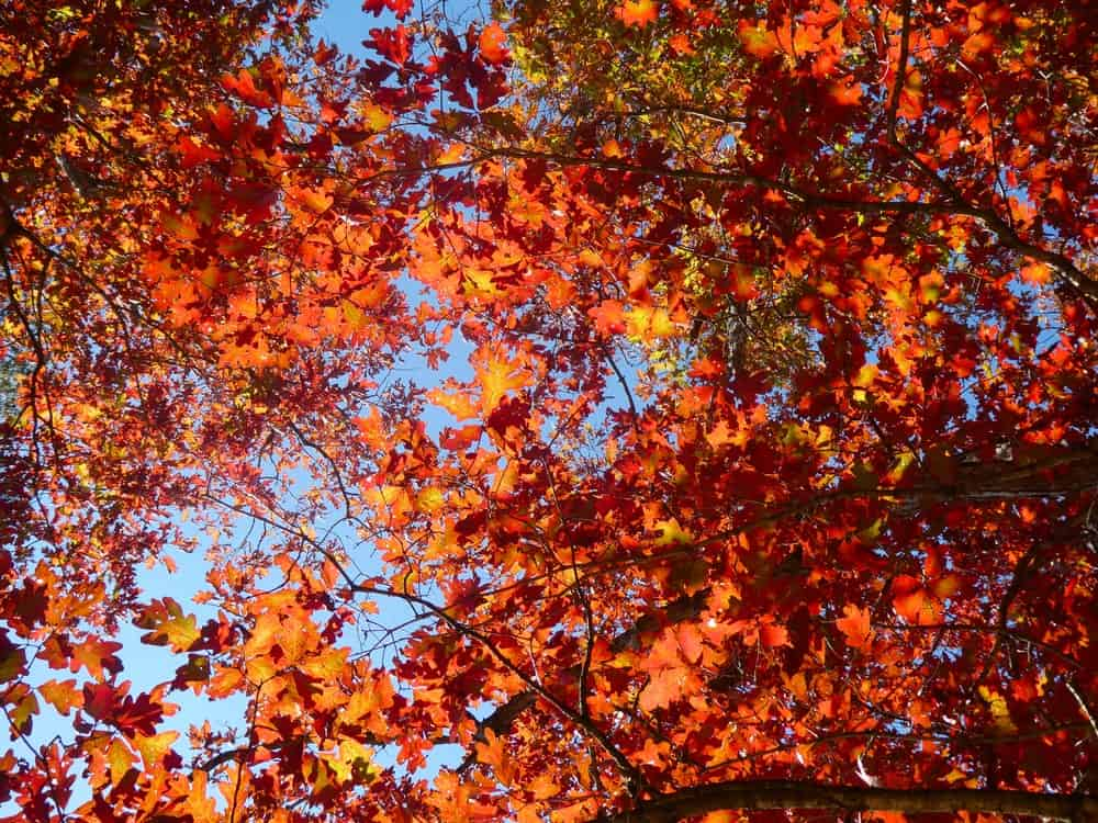 This is a close look at the scarlet foliage of the scarlet oak tree.
