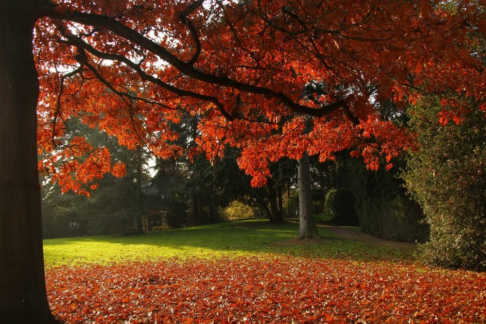 This is a close look at a garden dominated by a scarlet oak tree.
