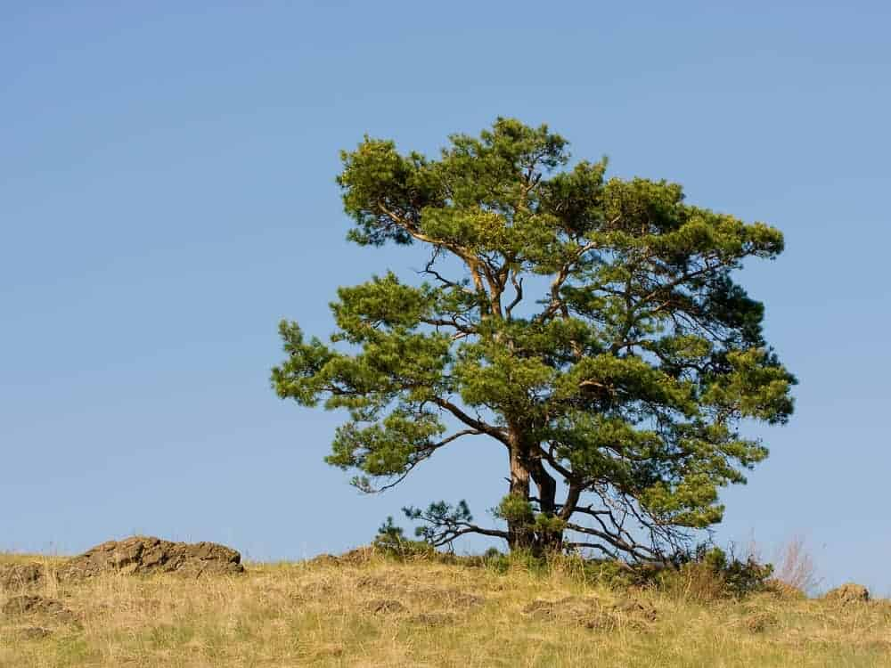 This is a full view of a scotch pine tree growing on a field.
