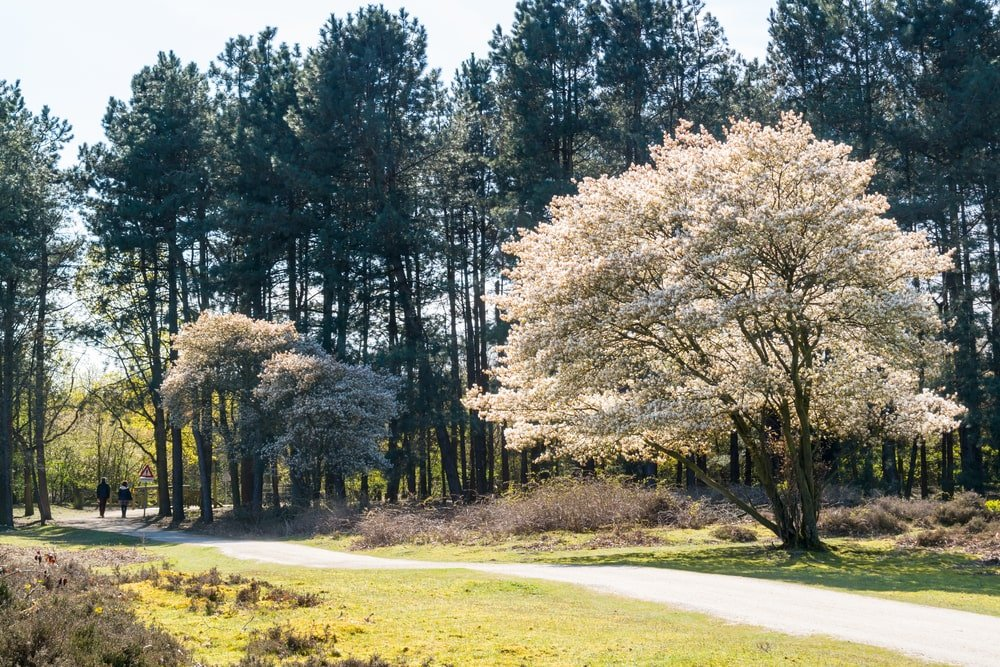 This is a mature serviceberry tree by the pathway leading to the forest.
