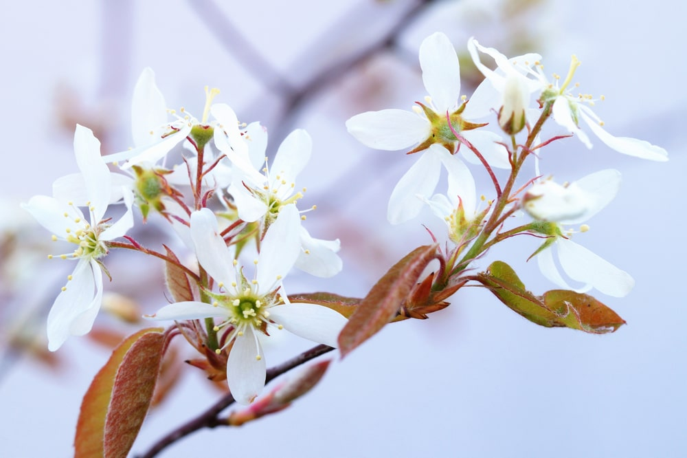 This is a close look at the blooming flowers of a serviceberry tree.