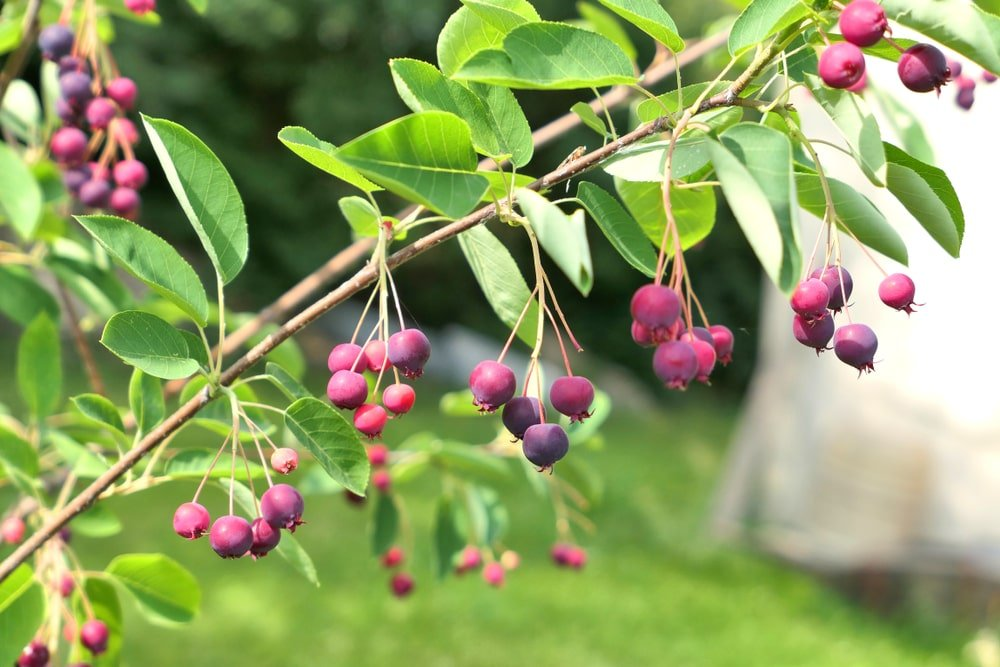 This is a close look at multiple clusters of fruits of the serviceberry tree.
